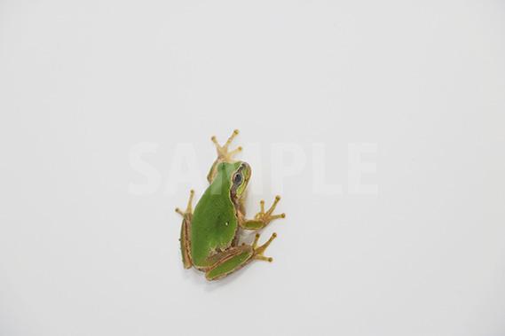 壁に張り付いたアマガエルの写真