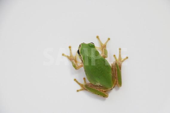 上から見たアマガエルの写真