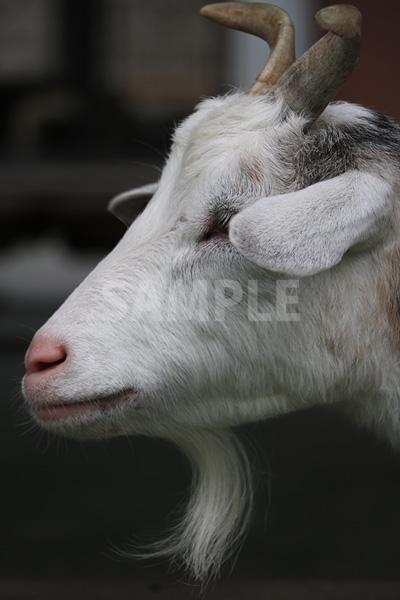 横を向いたヤギの顔の写真