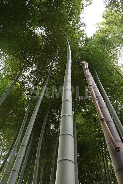 竹やぶを見上げた写真