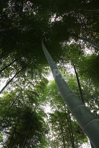 力強く伸びる竹の写真
