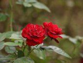 鮮やかな赤いバラの写真