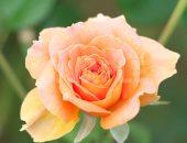 薄いオレンジ色のバラの写真