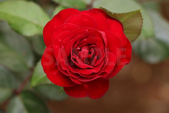 上から見た真っ赤なバラの写真