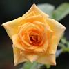五芒星形の淡黄色のバラの写真