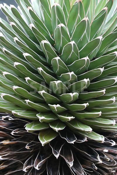 アガベ(多肉植物)・笹の雪の写真