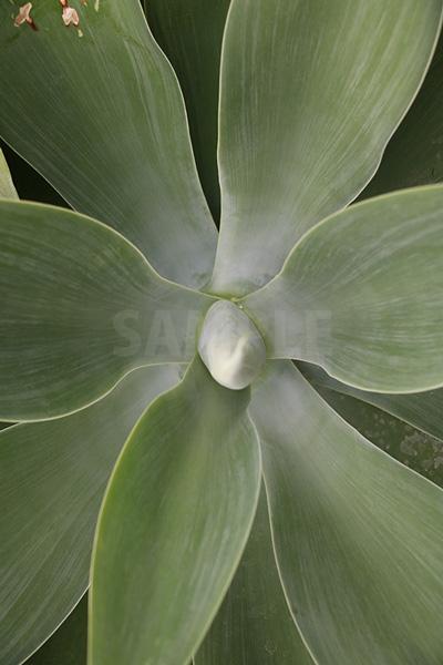 上から見た放射状に生える葉の写真