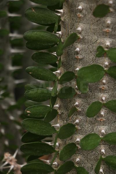棘と葉っぱが並ぶディディエレア科アリュオーディア・フンベルティの写真