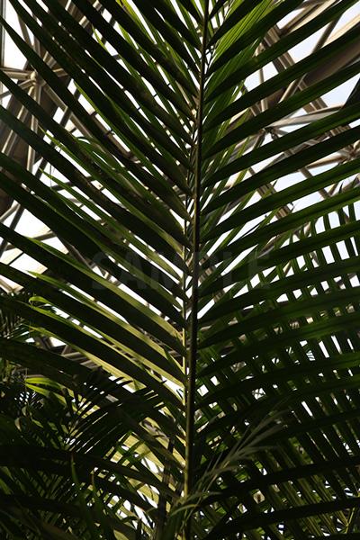 下から見上げた椰子の葉の写真