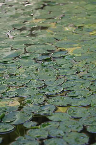 水面を覆う水草の写真