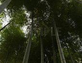 成長した竹の写真