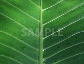 葉脈がくっきりとした葉の写真