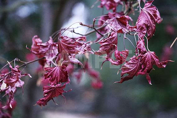 萎れたモミジの葉の写真・フォト素材