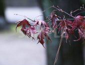しわくちゃなもみじの葉の写真・フォト素材