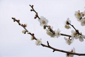 白い梅の花の写真・フォト素材