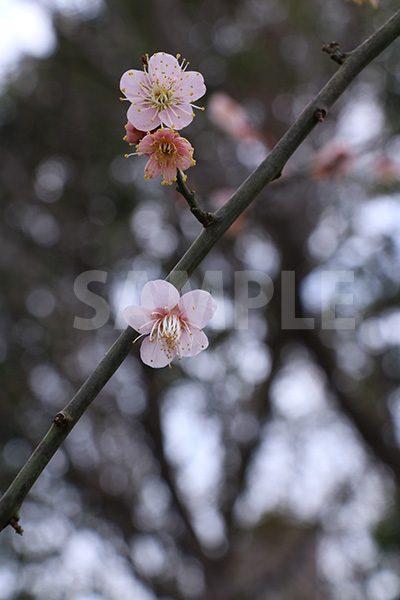 薄ピンクの梅の花の写真・フォト素材