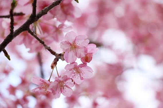 ピンクに色づいた梅の花の写真・フォト素材