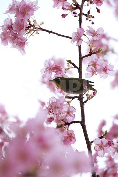 梅の花とメジロの写真・フォト素材