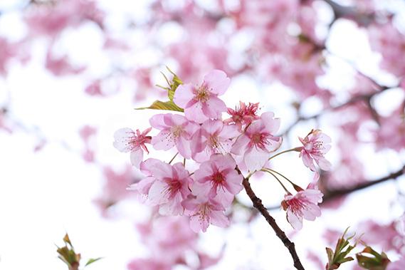 ピンク色の梅の花の写真・フォト
