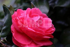 赤く色づいた椿の花の写真・フォト素材