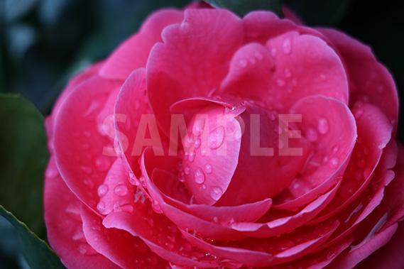 雨に濡れた乙女椿の花の写真・フォト素材