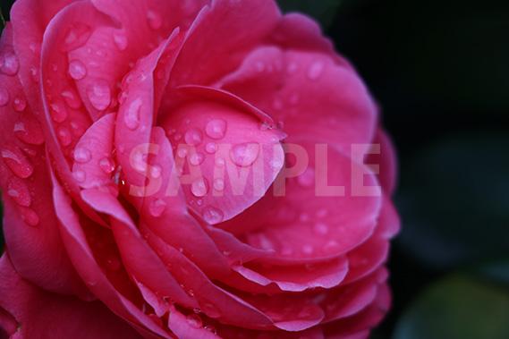 雨を弾く紅乙女(乙女椿)の花の写真・フォト