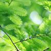 メタセコイアの葉 写真・フォト