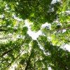 メタセコイアの森を見上げた写真