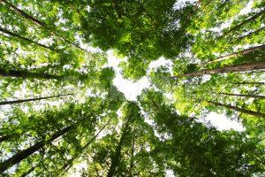 メタセコイアの森 写真・フォト