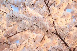 夕陽に照らされた満開の桜の写真