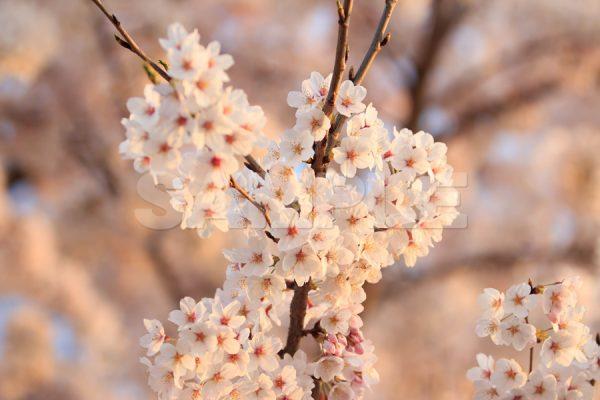 夕暮れ時の暖かい色の桜