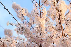 青空と夕暮れ時の桜の写真