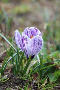紫色のクロッカスの花の写真・フォト