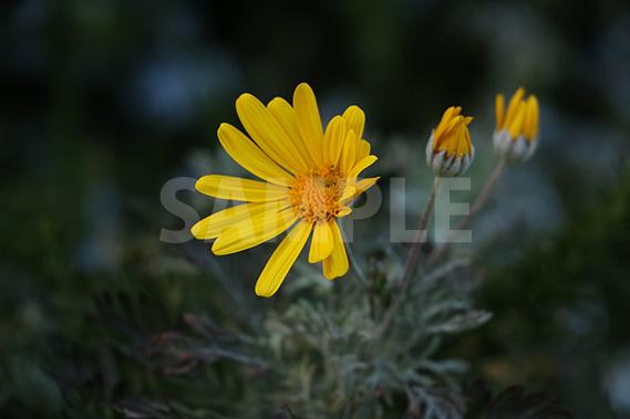 黄色の花の写真・フォト素材