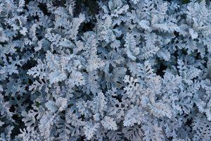 ダスティミラー、白い葉っぱの写真・フォト
