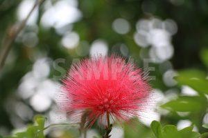 赤いふわふわした花、カリアンドラ・ハエマトケファラの写真・フォト