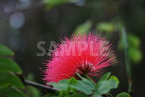熱帯植物、カリアンドラ・ハエマトケファラの写真・フォト