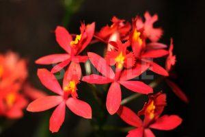 熱帯植物、赤いエピデンドラムの花の写真・フォト