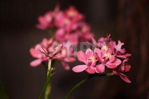 ラン科の熱帯植物、ピンク色のエピデンドラムの写真・フォト