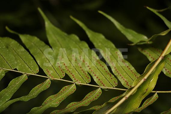 シダの葉の裏の胞子の写真・フォト