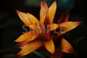オレンジ色のグズマニアの花の写真・フォト
