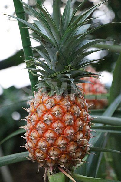 パイナップルの写真・フォト