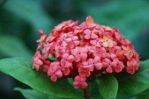 アカネ科の熱帯植物、サンタンカの花の写真・フォト