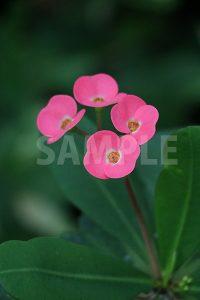 トウダイグサ科の熱帯植物、ハナキリンの花の写真・フォト