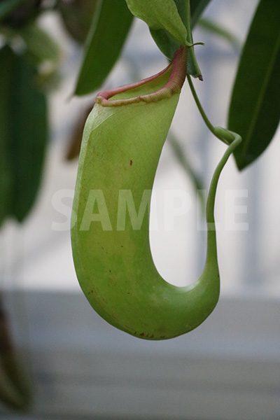 食中植物、ウツボカズラの写真・フォト