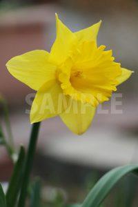 黄色い水仙の花の写真・フォト