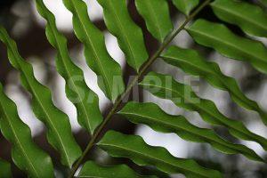 波打つシダの葉の写真・フォト
