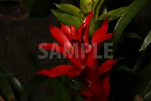 パイナップル科の熱帯植物、赤いグズマニアの花の写真・フォト