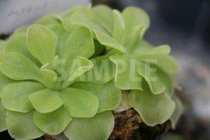 食中植物、ムシトリスミレの写真・フォト