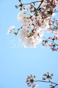 青空と桜の花の写真・フォト